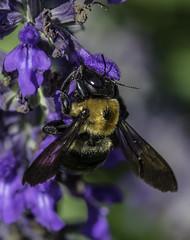 Bee_SAF7810 (sara97) Tags: bee copyright2016saraannefinke flyinginsect insect missouri nature outdoors photobysaraannefinke pollinator saintlouis towergrovepark