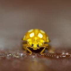 Halyzia sedecimguttata - Orange Ladybug (The Mad Macrographer) Tags: halyziasedecimguttata orangeladybug coccinella insect dof bokeh indoors canon7d canonef100mmf28lmacroisusm nikkvalentine