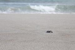 IMG_8808 (devoncoulter) Tags: seaturtle babyseaturtle beach costarica montezuma playamontezuma tortugita hatchery vivero release oliveridley lora turtleconservation nature photography volunteer gap year save planet