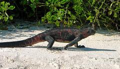 marine iguana striding out at gardner bay - espaola island, galpagos (Russell Scott Images) Tags: colourful marineiguanaamblyrhynchuscristatussspvenustissimus beach espaolaisland islaespaola hoodisland galpagos equator gardnerbay sand