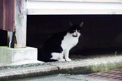 Today's Cat@2016-09-20 (masatsu) Tags: cat thebiggestgroupwithonlycats catspotting pentax mx1