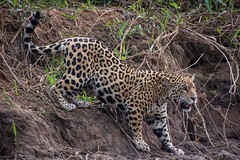 Jaguar (Young) Descending Bank (Barbara Evans 7) Tags: jaguar young cuiba river pantanal brazil barbara evans7