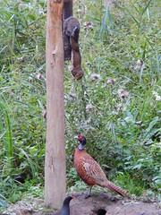 Oi, Up here! (Simply Sharon !) Tags: squirrel pheasant bird animal wildlife britishwildlife nature september pottericcarrnaturereserve