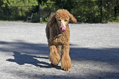 2674 (Jean Arf) Tags: ellison park dogpark rochester ny newyork september autumn fall 2016 poodle dog standardpoodle gladys tongue shadow