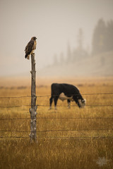 Red Tail And The Elusive Mountain Bovine [Explore] (Michelle Pilling Photography) Tags: red tail hawk mountain bovine cow fall foggy smoky fly canyon forest fire miller flat road emery county utah explore