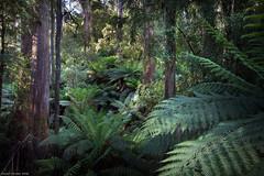 Summer Sun (Ranga 1) Tags: forest canon bush australian australia victoria jungle ferns dandenongs dandenongranges kallista gumtrees davidyoung thedandenongs ef1740mmf4lusm canoneos5dmarkii