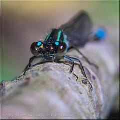 Give Me A Hug (*ian*) Tags: macro eye nature closeup bug insect square bokeh head wildlife favourite damselfly bluetailed bigemrg mygearandme mygearandmepremium blinkagain