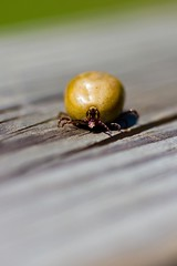 Comin' to Get Ya (Universal Stopping Point) Tags: wood macro home dof skin fat tick easternkentucky engorged