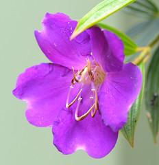 DSC_0004 (RUMTIME) Tags: flower nature queensland coochiemudlo macromarvels silveramazingdetail macromagister