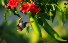 Bird and Blossom IV: Spotted (piratetuba) Tags: red flower green bird hummingbird feeding blossom flight vanburen bloom arkansas trumpetvine hover fifthflower quintaflores