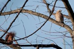 Riunione di condominio (vieri bertola) Tags: uccelli animali scoiattolo ghiandaia
