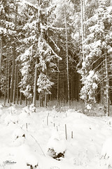 Winter (peter pirker) Tags: wood schnee winter snow tree sepia canon austria sterreich krnten carinthia wald baum peterfoto eos550d peterpirker