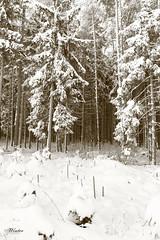 Winter (peter pirker) Tags: wood schnee winter snow tree sepia canon austria österreich kärnten carinthia wald baum peterfoto eos550d peterpirker