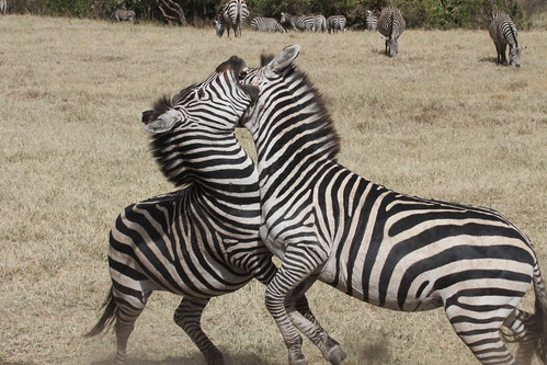 Fighting Zebras in Ngorongoro Crater (4)
