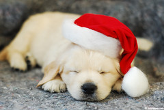 Merry Christmas ! (.:: Maya ::.) Tags: christmas dog baby puppy golden navidad retriever merry feliz 34 на дни орфей весела коледа mayaeye mayakarkalicheva маякъркаличева