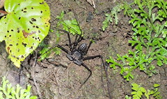 scorpion_spider (Speckled Jim) Tags: costarica scorpionspider