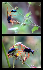 FunKy WaSp (Didi.9) Tags: blue orange india plant black colour macro nature yellow canon insect wasp natural funky tamil pondicherry nadu