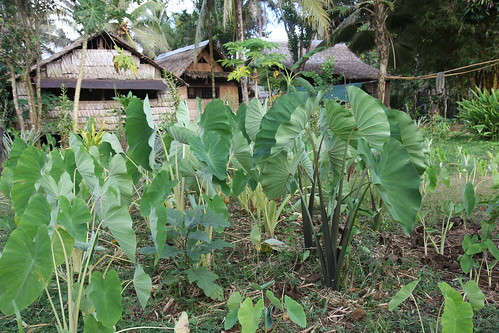 'Soup soup' gardens  in Malaita, Solomon Islands. Photo by Wade Fairley, 2012.
