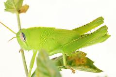 Anacridium aegyptium - Egyptische treksprinkhaan (henk.wallays) Tags: france up close cricket grasshopper rousson egyptische anacridium aegyptium sprinhaan treksprinkhaan orthopthera roussondag13rest