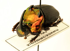 Phaneus chryseicollis (ixus960) Tags: macro bug insect beetle stack insecte entomologie macrophoto coleoptera coloptre bousier coprophage scarabid kaleidoptera