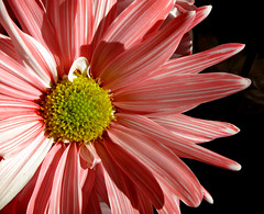 Peppermint Daisy_4834 (photoholic1) Tags: flower daisy bouquet peppermintdaisy