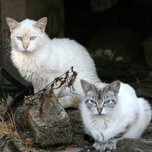 Two Mostly-White Feral Cats