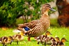 2012 09 16 (53e) Duck Family @ Mangere Bridge-a55v-09 (Terry Hollis) Tags: newzealand sony ducklings auckland top20nature aotearoa anasplatyrhynchos mallardduck manukauharbour dslt mangerebridge terryhollis blinkagain a55v minoltaaf500mmf8salreflexlens
