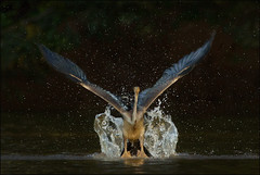 Happy New Year! (hvhe1) Tags: africa bird nature water animal drops wings wildlife gambia splash takeoff darter anhingaanhinga marakissa specanimal africandarter hvhe1 hennievanheerden slangenhalsvogel