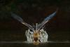 Happy New Year! (hvhe1) Tags: africa bird nature water animal drops wings wildlife gambia splash takeoff darter anhingaanhinga marakissa specanimal africandarter hvhe1 hennievanheerden slangenhalsvogel