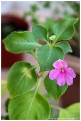 Uma de minhas Flores (Arley Ramos) Tags: flowers pepper spice flor pimenta tempero