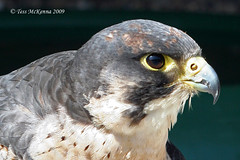 Bird Of Prey Profile (Tess Mc Kenna Home) Tags: nature birds closeup photography profile raptor cannon prey raptors birdofprey blinkagain