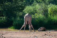 "Drinking Giraffe • <a style=""font-size:0.8em;"" href=""http://www.flickr.com/photos/56545707@N05/8365428224/"" target=""_blank"">View on Flickr</a>"