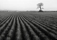 Furrowed Field, Sauvie Island (austin granger) Tags: film field grass oregon portland oak earth farm soil dirt crop mthood largeformat sauvieisland furrowed cultivated deardorff austingranger