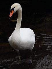 swan brynrefail