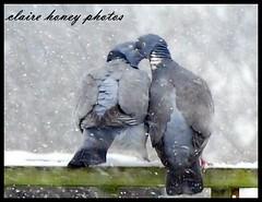 034 (2) (frenchmum) Tags: winter portrait snow birds animal