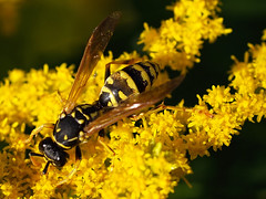 A wasp working on a goldenrod. (Bienenwabe) Tags: wasp goldenrod asteraceae yellowjacket vespula solidago goldrute vespulagermanica europeanwasp kanadischegoldrute solidagocanadiensis