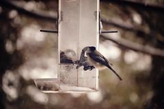 chickadee at feeder {4} (questionsofscience) Tags: trees winter snow bird nature birds nikon bokeh wildlife feeder chickadee snowing d3100 nikond3100