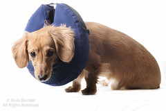 I got some work done (Russ Beinder) Tags: dog cute puppy cone tube dachshund medical fixed doggy pup weiner isolated sherman daschund neuter purebred 85mmf14