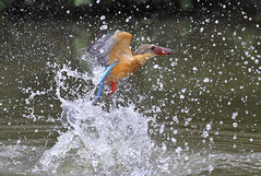 Stork-billed Kingfisher action 3 of 5 (kampang) Tags: storkbilledkingfisher pelargopsiscapensis