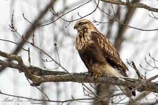 Rough-legged Hawk (Buteo lagopus)