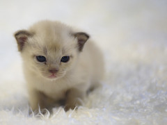Sweet and tender burmese kitten