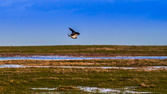 Elmley Nature Reserve (EXPLORED FEB 1) (David Claringbold) Tags: sky colour slr bird wet water grass landscape island fly flying kent raw watching flight reserve marsh hdr spotting compact lightroom sheppey