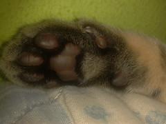 Patita (JkZafiro) Tags: pet cat gato felino mascota patita