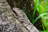 Black spiny-tailed Iguana (Don Filipiak) Tags: costarica lizard reptiles garrobo ctenosaurasimilis blackspinytailediguana