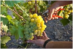 Mario_vigna02 (Diego Della Tommasa) Tags: mani natura mario campagna uva vigna vitigno sarfegna uvadatavola