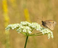 Meadow (SarahW66) Tags: meadow brown butterfly macro flower flora