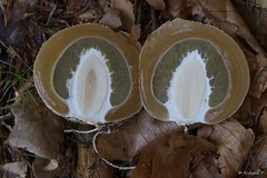 Querschnitt vom Hexenei (Rich Art Light) Tags: pilz pilze stinkmorchel hexenei phallus impudicus mushroom stinkhorn egg