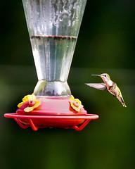 Hummingbird arriving for breakfast (DDB Photography) Tags: hummingbird bird wings flying feeder nectar nature outdoors summer cute animal photography photographer ddbphotograhy ddbphotography sony a77ii