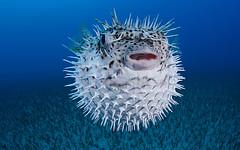 First Upload (anniquedaquep) Tags: porcupinefish diodon hystrix hawaii underwater r11437 reef fish fishes vertebrate maui oahu kauai tropical pacific south spotted spine spines spiny puffer pufferfish diodontidae kona big island david fleetham davidfleetham