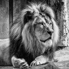 the King (robert.molinarius) Tags: king lion molinarius zoo